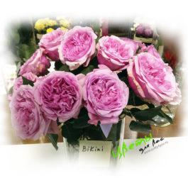 английская роза Бикини 1 шт.