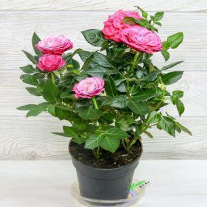 roza-v-gorshke